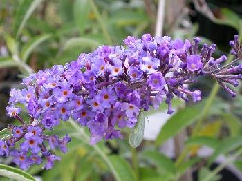 Buddleja dav.'Empire Blue'