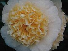 Camellia j. 'Brunchfield Yellow'