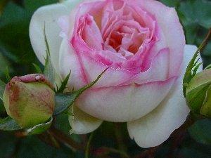 hoe groeien rozen